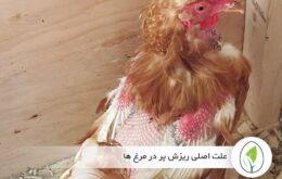 علت اصلی ریزش پر در مرغ ها - چیکن هچ