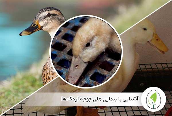 آشنایی با بیماری های جوجه اردک ها - چیکن هچ