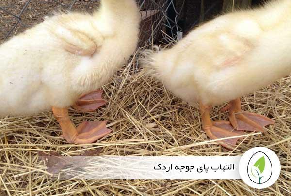 التهاب پای جوجه اردک - چیکن هچ