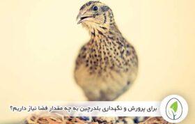 در قفس بلدرچین چه تعداد پرنده قابل نگهداری است؟ - چیکن هچ