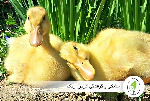 خشکی و گرفتگی گردن اردک - چیکن هچ