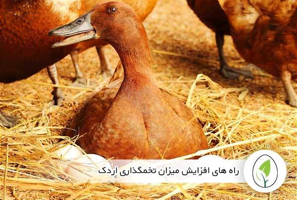 راه های افزایش میزان تخمگذاری اردک - چیکن هچ