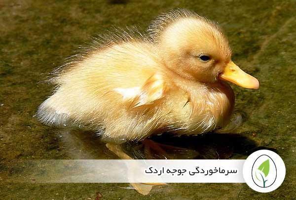 سرماخوردگی جوجه اردک - چیکن هچ