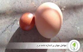 عوامل موثر بر اندازه تخم مرغ - چیکن هچ
