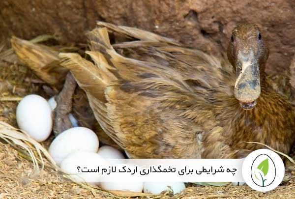 چه شرایطی برای تخمگذاری اردک لازم است؟ - چیکن هچ
