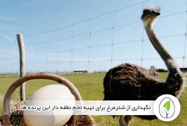نگهداری از شترمرغ برای تهیه تخم نطفه دار این پرنده ها - چیکن هچ