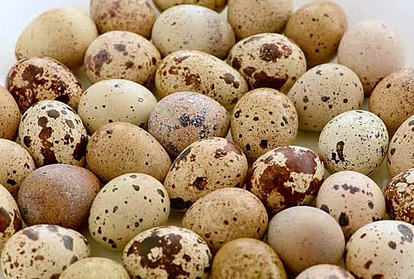 خرید تخم نطفه دار بلدرچین