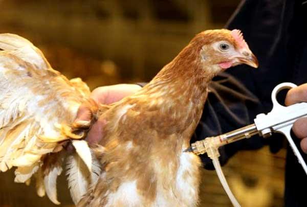 شیوع بیماری نیوکاسل مرغ