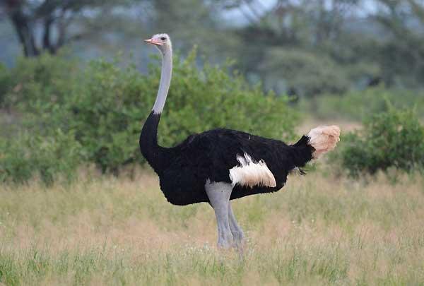 شترمرغ سومالی