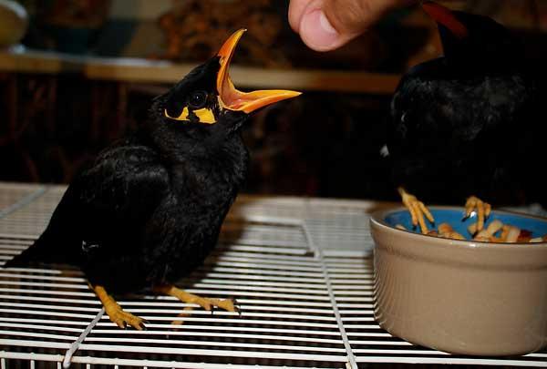 نکات مهم به هنگام تغذیه مرغ مینا